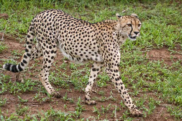 Cheetah walking, side view
