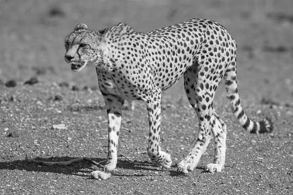 Cheetah walking through open ground