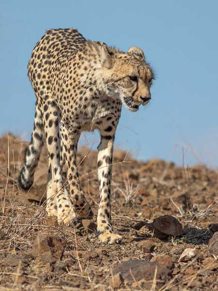 Cheetah heading down rocky slope