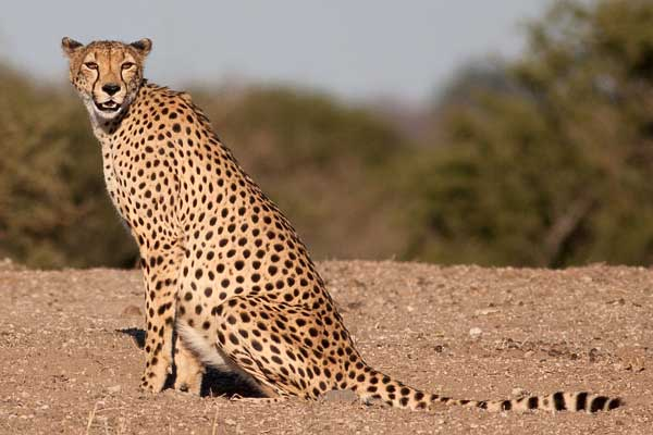 Cheetah sitting on its haunches in open terrain