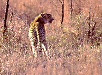 cheetah watches as hyena approach