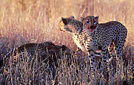 cheetahs on kill