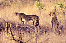 cheetahs watch as hyena approach