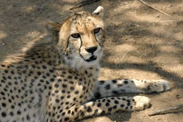 Cheetah lying in shade