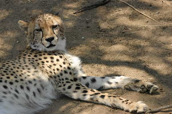 Cheetah reclining