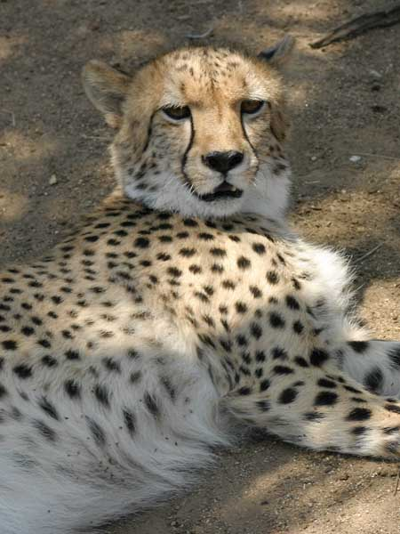 Cheetah lying on its side