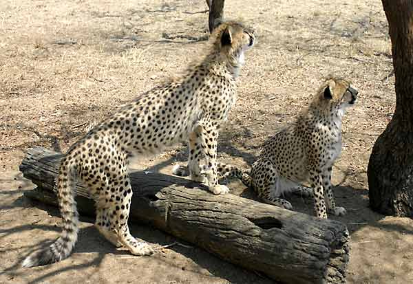 Young cheetahs ready to play