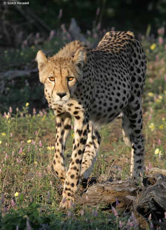 Cheetah walking, front-on