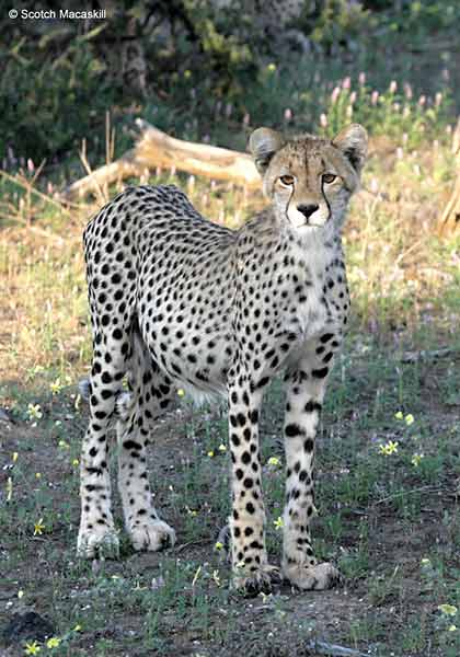 Young cheetah standing in open shade
