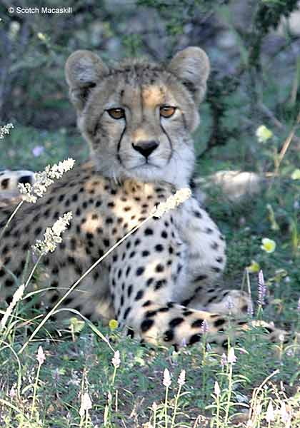 Close up of young cheetah