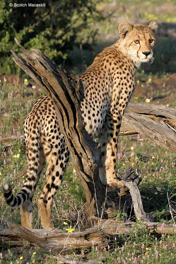 Cheetah with front feet on tree stump