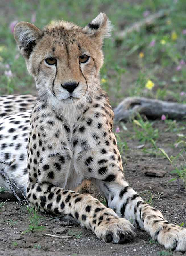 Portrait of young cheetah
