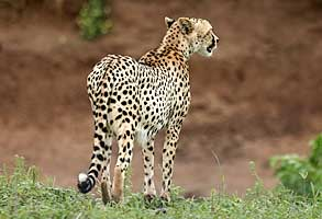 Cheetah on edge of riverbed