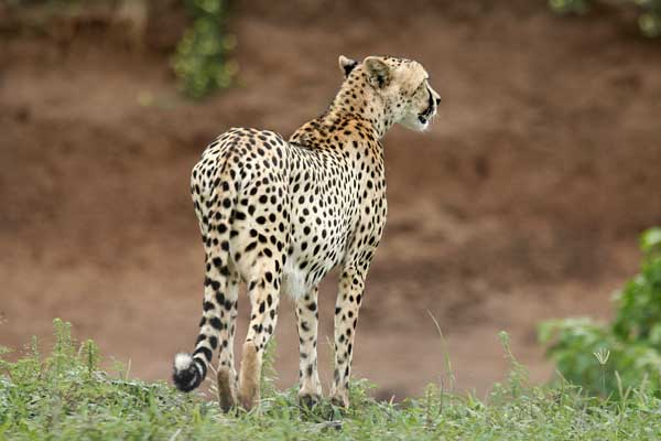 Cheetah standing on edge of riverbank