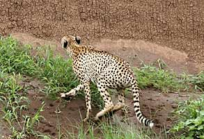 Cheetah climbing river bank