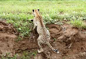 Cheetah bounds up river bank