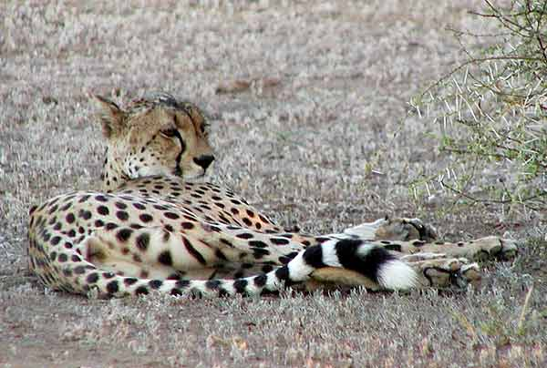 Cheetah lying down