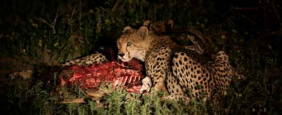 Cheetahs at night feeding on impala