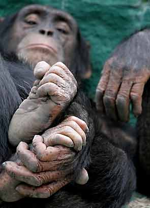 Chimpanzee hands and feet