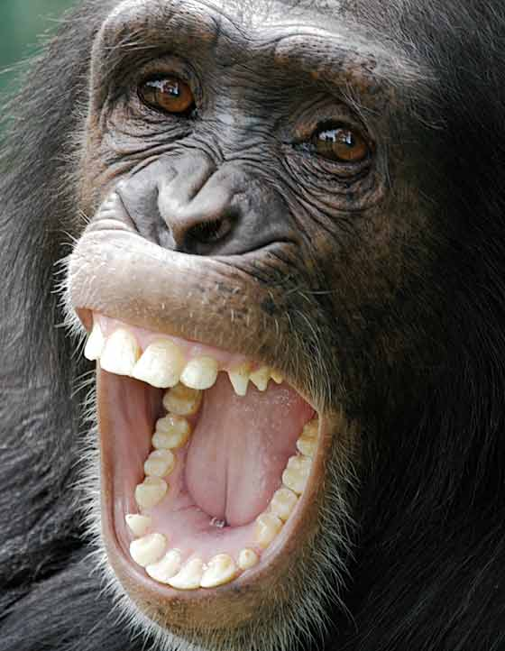 Chimpanzee close-up