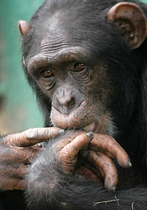 Chimpanzee with hands to its mouth