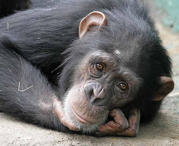 Chimpanzee lying down