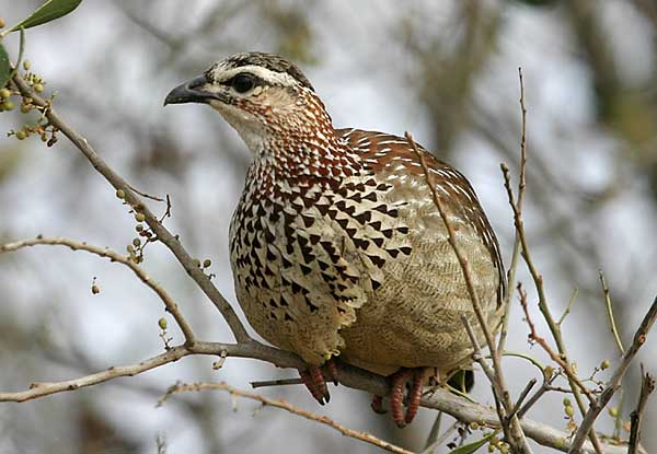 Crested Francolin perched in tree