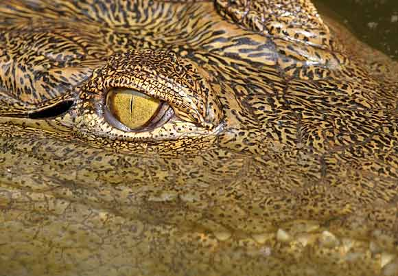 Young Nile crocodile, close-up