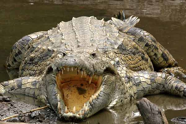 Nile crocodile (Crocodylus niloticus) lying with its jaws wide open