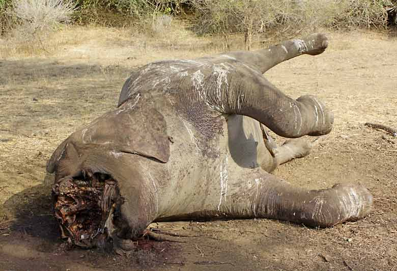 Dead elephant shot by poaches with tusks hacked out