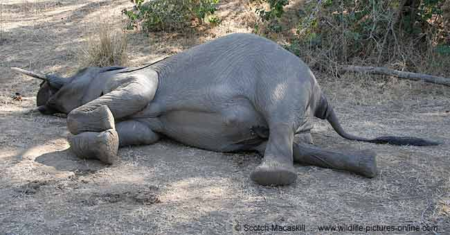 Dead elephant, shot by poachers