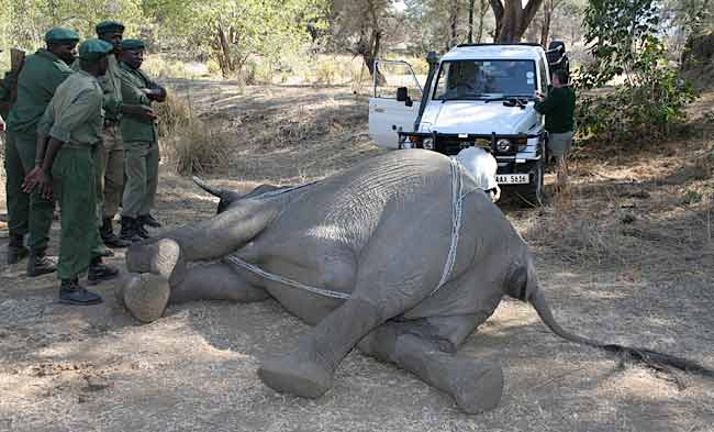 Dead elephant being turned over