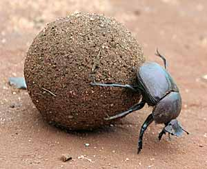 Dung beetle rolling dung ball