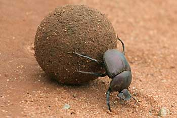 Dung beetle pushing dung ball, Mkuzi Game Reserve, South Africa