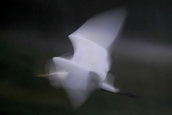 Cattle egret in flight, motion blur