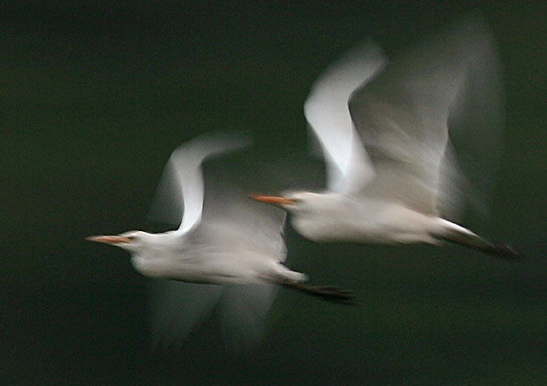 Egret pair flying, motion blur