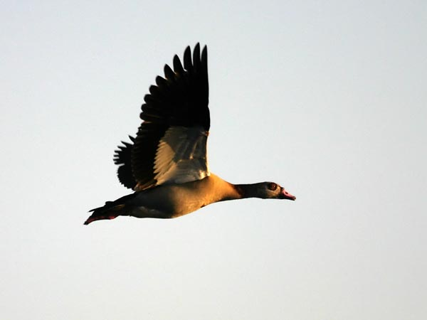 Egyptian Goose in flight