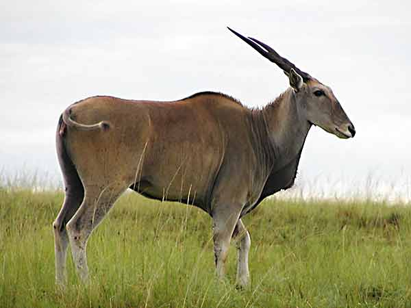 Eland, side-view
