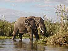 Elephant on banks of Zambezi River