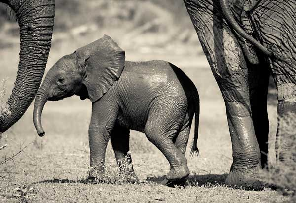 Elephant baby under protection of adult elephants