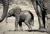 Elephant baby with adults