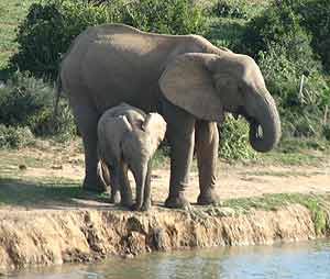 Elephant and calf drinking
