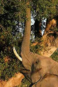 Elephant using trunk to reach vegetation in tall tree