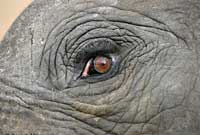 Elephant eye, extreme close-up
