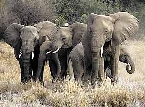 Elephant group banding together for protection