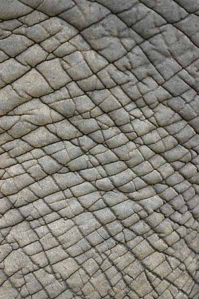 Elephant hide close-up