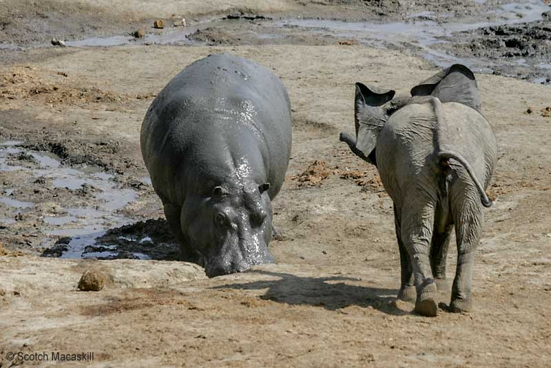 Young elephant challenges adult hippo