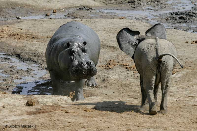 Hippo glares at young elephant