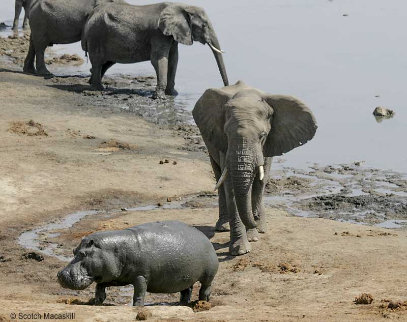 Hippo moves to its right to evade elephant