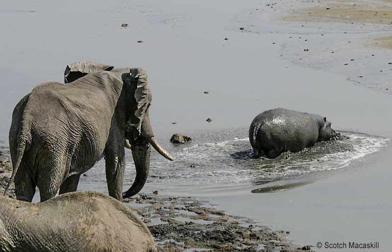 Hippo heads off, away from elephants